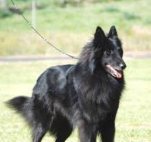belgian sheepdog what s good about em groenendael belgian sheepdog breed information photos and facts