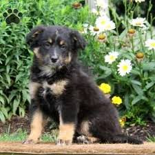 pomeranian x australian shepherd bernese mountain dog mix puppies for sale greenfield puppies