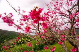 cherry blossom pics japan s cherry blossoms 2018 forecast when where to catch them
