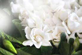 gardenia flower delivery high c supply co gardenias luxury flower delivery
