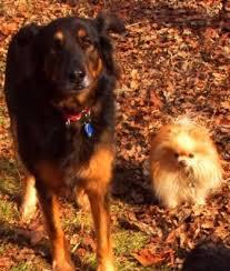 belgian shepherd ottawa abby german shepherd x belgian shepherd ottawa dog training