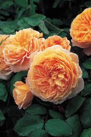 857 best roses i love images on pinterest david austin roses