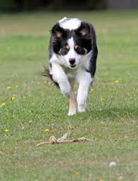 australian shepherd white free images nature white running puppy cute young brown