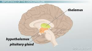 Why Is Anatomy And Physiology Important Diencephalon Definition Location U0026 Function Video U0026 Lesson