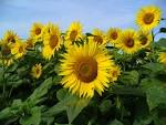 Image result for Helianthus annuus