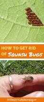 how to get rid of squash bugs squash bugs gardens and vegetable