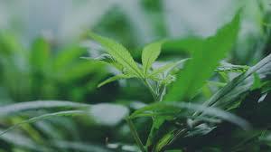 cannabis flower cannaman farms producing exceptional cannabis