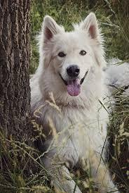 characteristics of a australian shepherd alaskan malamute german shepherd dog breed information purrs n grrs