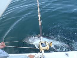 giant tuna fishing cape cod they are back