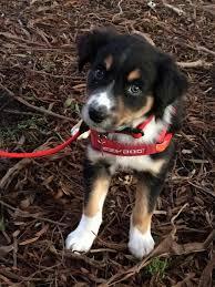 Bench Kelpie Puppies Sale Archer Border Collie Cross Kelpie I Dogs Pinterest