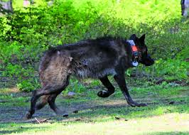 belgian sheepdog idaho wolf attack confirmed in lake county news heraldandnews com
