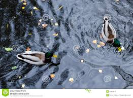 duck swimming top view stock photo image 73312557
