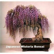 wisteria tree suppliers best wisteria tree manufacturers china