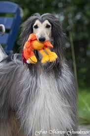 afghan hound hairstyles domino afghan hounds pinterest