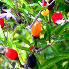shop free shipping potted vegetable seeds colored colorful