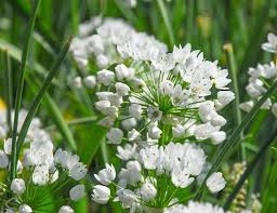 allium neapolitanum ornamental