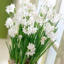 paperwhite flowers zyverden paperwhites set of 5 87051 the home depot
