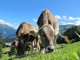 genetic engineering crispr technology makes cows resist tuberculosis