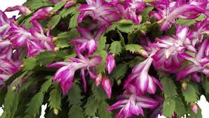 christmas plant how to care for a christmas cactus bloom cycle and tips