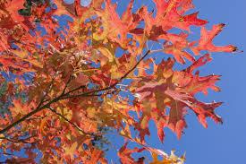 pin oak information u2013 tips for growing pin oaks in landscapes