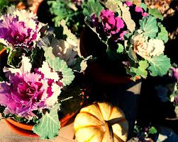 winter gardening ornamental cabbage and flowering kale