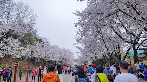 incheon grand park cherry blossom festival 2017 when in south korea