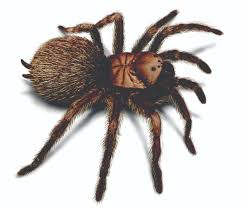 tarantula spider facts appearance cycle etc