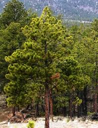 ponderosa pine for sale lowest prices guaranteed