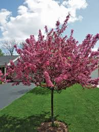 small flowering trees michigan gardening