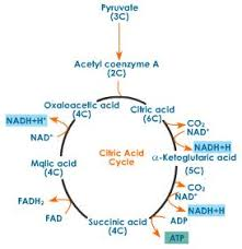 Light Independent Reactions Definition Cellular Respiration Definition Stages Of Cellular Respiration