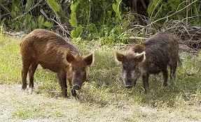 eats pig