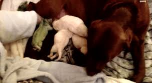 afghan hound giving birth labrador surprises everyone by giving birth to green puppy