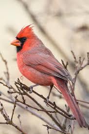 cardinal bird home decor cardinal decorations a holiday tradition houston chronicle