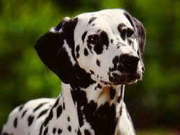 dalmation dog photo big dalmatian dog dog wallpaper puppy and