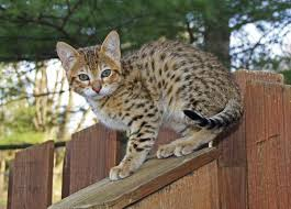 a brief insight into different generations of the savannah cat young savannah cat