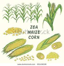 maize stock images royalty free images u0026 vectors shutterstock