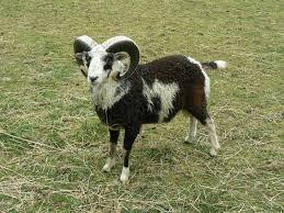 1458 Best Lamb Chop U0027s Friends U0026 Relatives Images On Pinterest