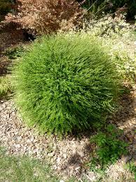 arbuste feuillage pourpre persistant lonicera nitida parmin arbuste jardins et plantes