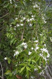 Which Jasmine Plant Is Most Fragrant - 10 recommended jasmines for home gardens
