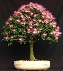 20 mimosa albizia julibrissin seeds rare exotic home bonsai