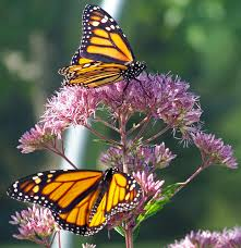 monarch butterflies on a flower free stock photo public domain