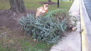 how to recycle your christmas trees 2016 17 holiday season