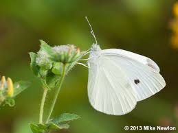 cabbage white butterfly cabbage