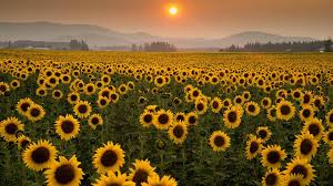 if you buy your birdseed at costco the sunflower seeds might be