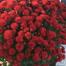 Best Flowers For Small Pots Fall Mums Your Ultimate Care Guide