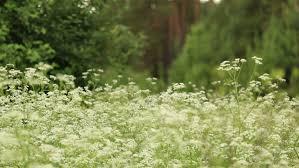 no sun plants wild plants field midsummer there is no sun stock footage video