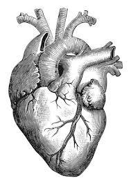 best 25 heart illustration ideas on pinterest human heart