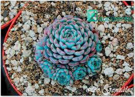 succelents best 25 rare succulents ideas on pinterest cool plants pink