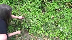 devastation from honeysuckle bush and vine in missouri youtube