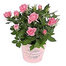 buy house plants u0026 indoor plants online serenata flowers